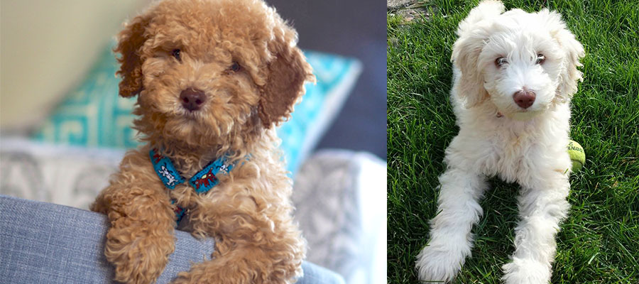 Australian Labradoodles and Goldendoodles in Ohio